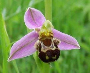 chep orchidee 1