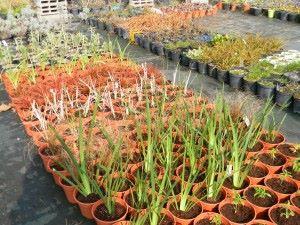 pepinière iris uncinia phornium tom