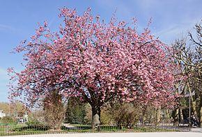 Cerisier_du_Japon_Prunus_serrulata