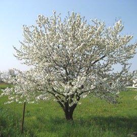 prunus-avium (Merisier commun)